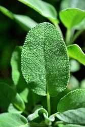 sage leaf e1567360082349