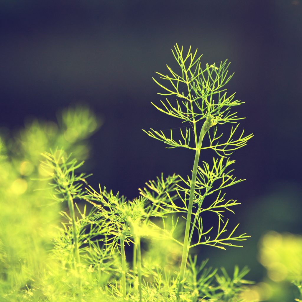 Dill side view