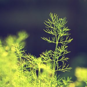 dill side view e1567360911841