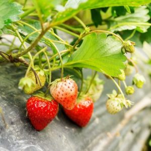 strawberry plant in an orchard e1567361501397