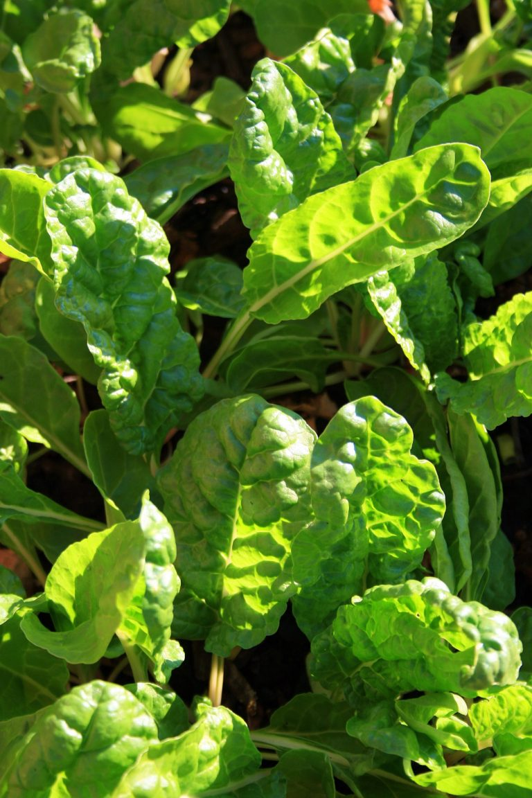 Large spinach leaves