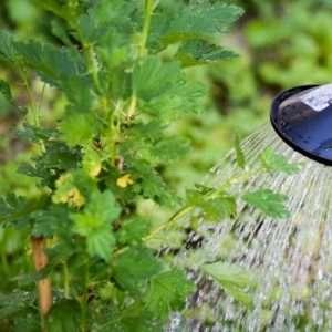watering gooseberries