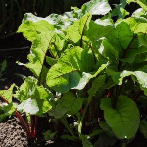 Young beetroot in the garden