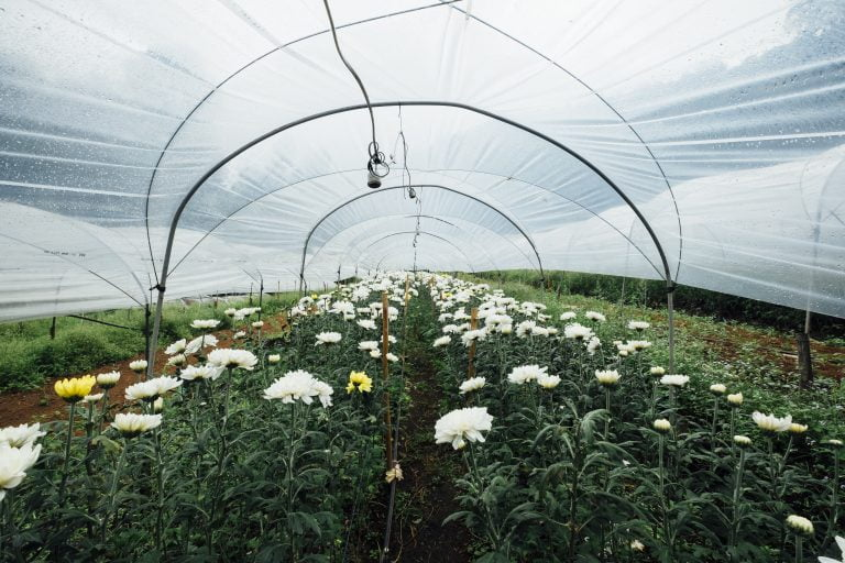 flowers inside a polytunnel e1567283218817