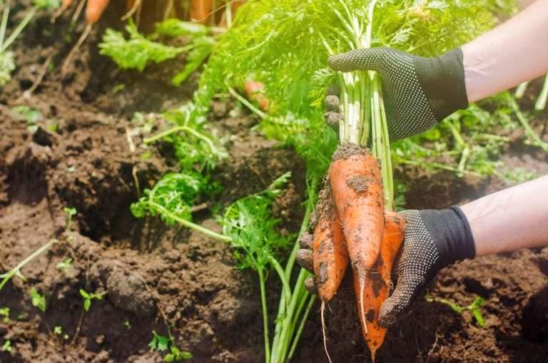 large carrots harvested e1567284153785