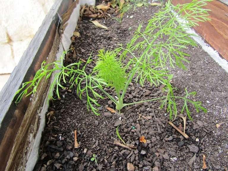 new fennel plant foeniculum vulgare albufeira e1567285017655