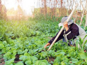 Farmer harvesting natural garden vegetables