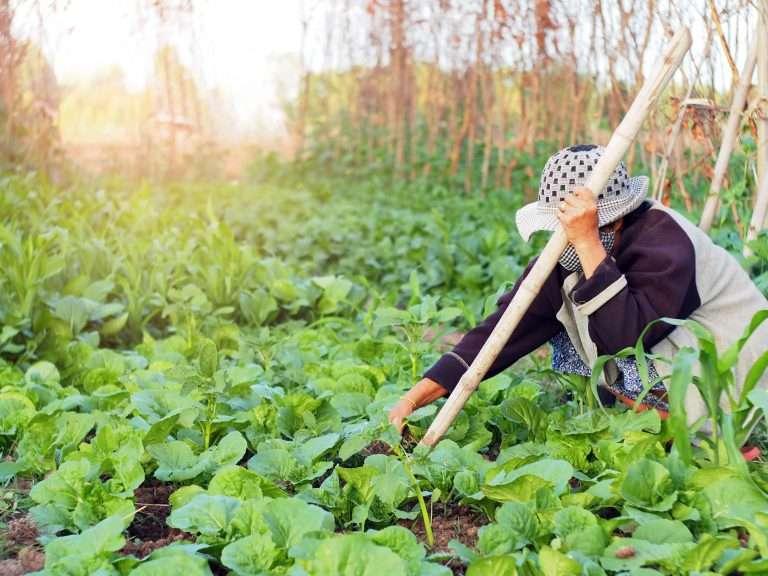 Farmer harvesting natural garden vegetables