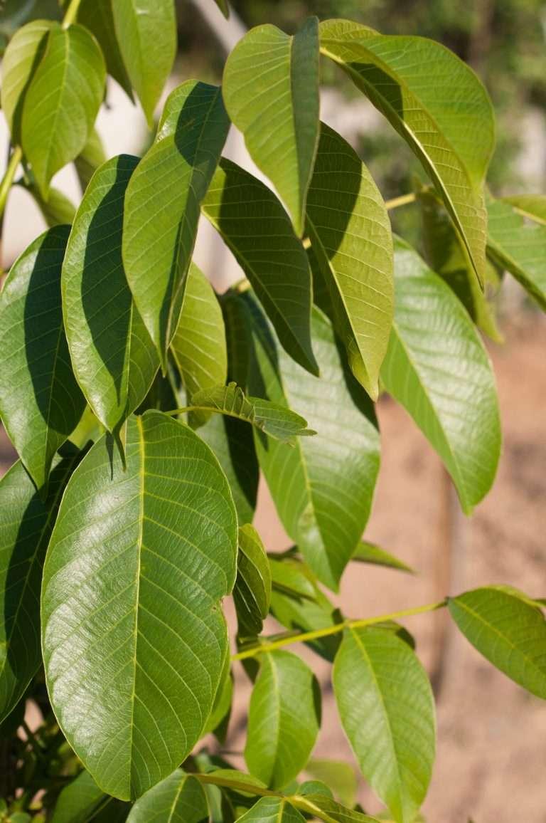 Apple tree leaves