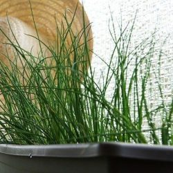 chives in a pot e1567285273586