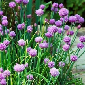 chives with flowers e1567285127376