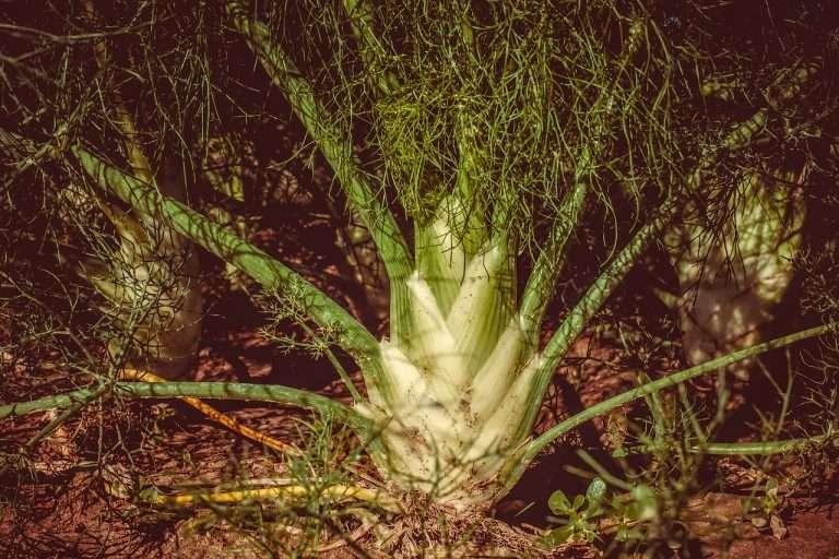 fennel plant e1567284955355