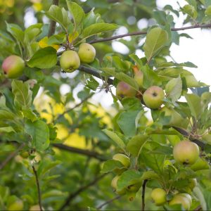 Green unripe apples