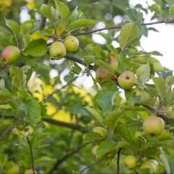 green unripe apples e1567285403207
