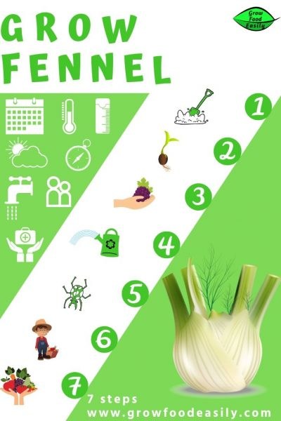 how to grow fennel bulb e1567284845292