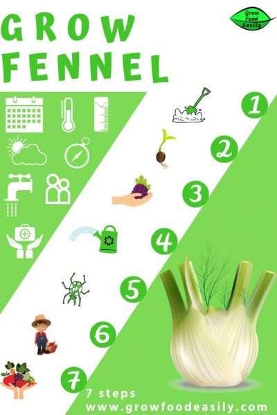 how to grow fennel bulb e1567284845292