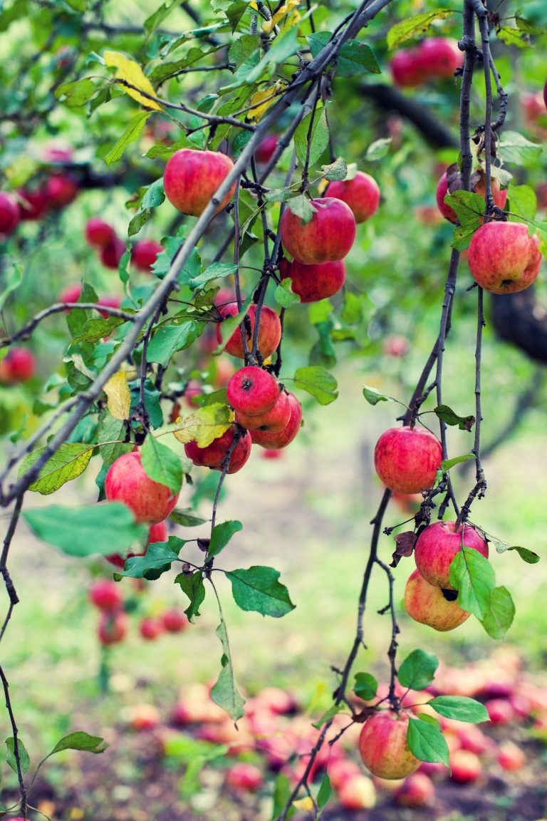 red apples on a tree e1567285351229