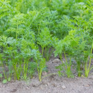 young carrots growing in yard e1567284109276