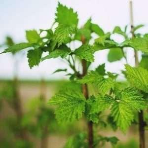 young raspberry plant e1567284601675